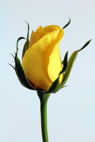 Sárga rózsa - 2020 Nőnap